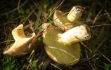 mushroom forage may 2013-3