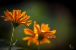 and Photographer northland calendula